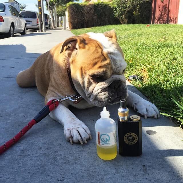 Bulldog and vape