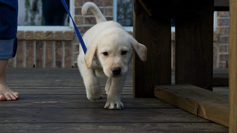 Labrador puppy leash training