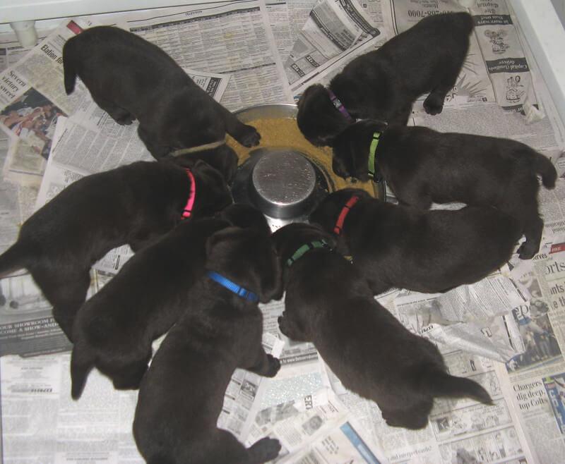 4-week old puppies feeding