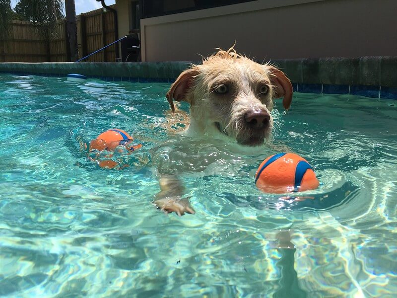 Dog swimming in the pool
