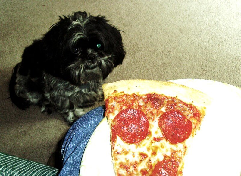 Dog begs for pizza
