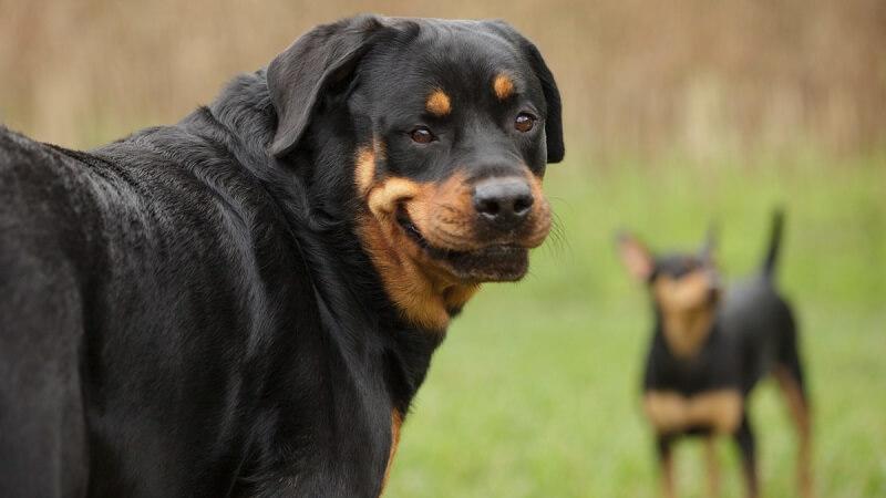 Smiling Rottweiler