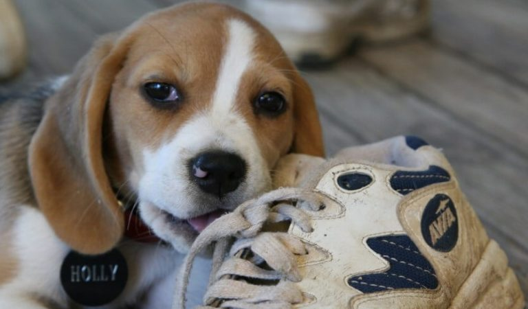 How to Stop Your Dog From Chewing on Shoes