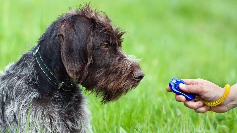 Clicker training dog