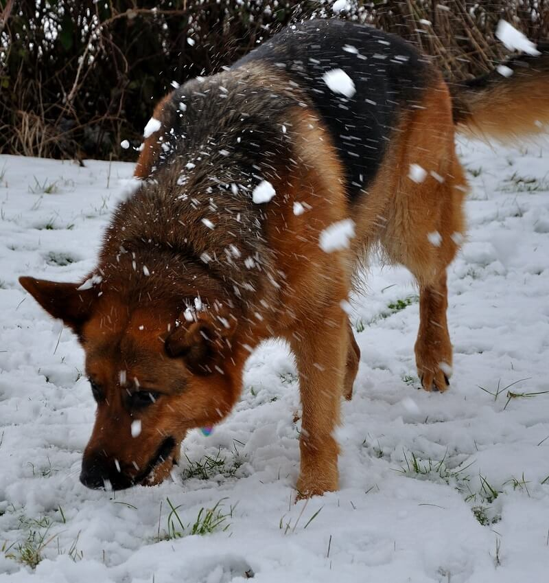 Dog eating snow