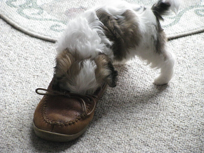 Puppy and shoe