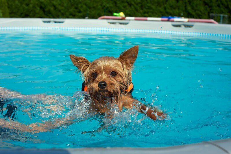 Yorkshire Terrier in the pool