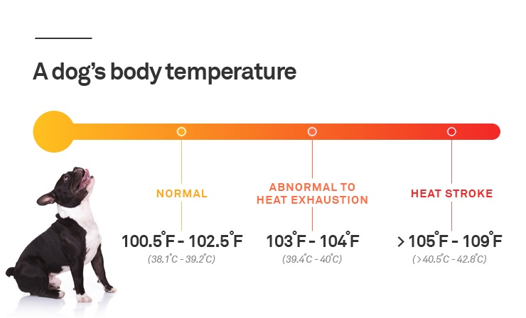Dog body temperature
