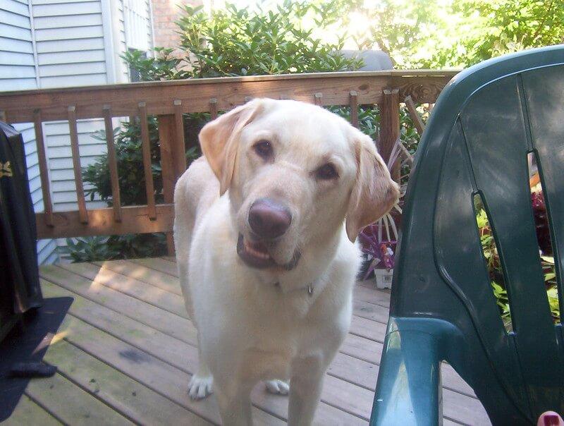 Labrador listens