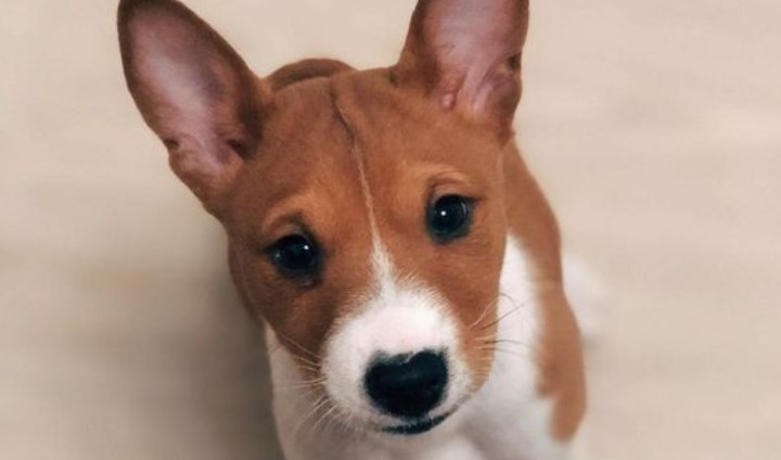 12 Things Basenji Dogs Do That Drive Us Nuts