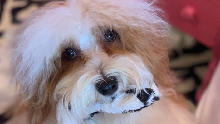 14 Things Havanese Owners Must Never Forget
