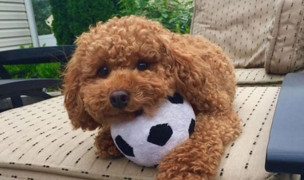 200+ Lovable Poodle Names For Dogs 2020