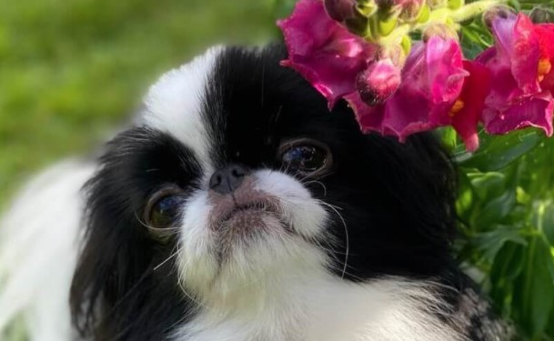 15 Cool Facts About Japanese Chin
