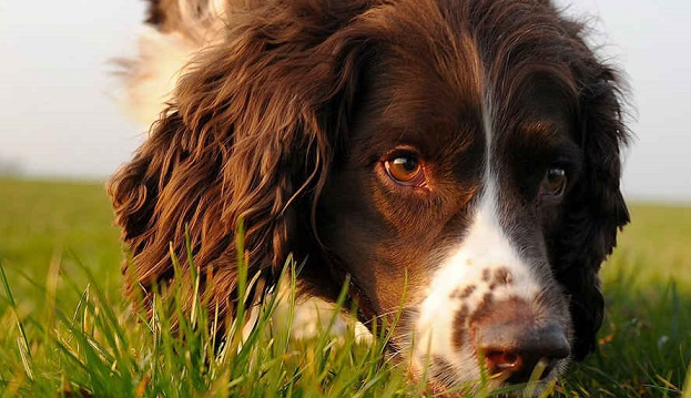 14 Things You'll Only Understand If You Have A Springer Spaniel