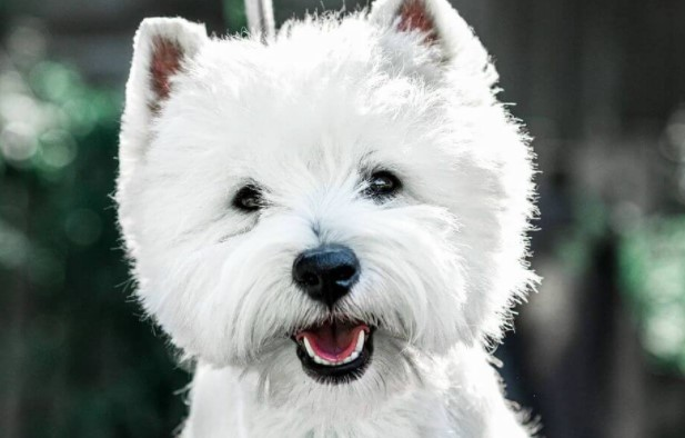 15 Cool Facts About West Highland White Terriers