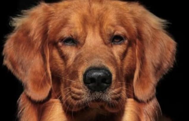 400+ Beautiful Golden Retriever Dog Names