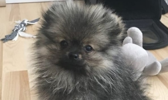 14 Favorite Things That Only Pomeranian Owners Will Understand