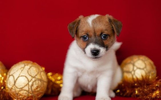 85 Male Jack Russell Terrier Names