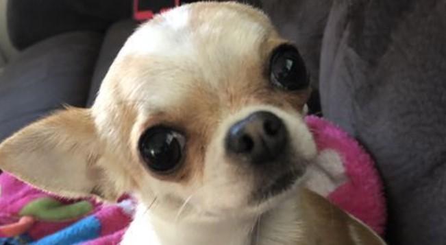 Chihuahua Feeding Guidelines