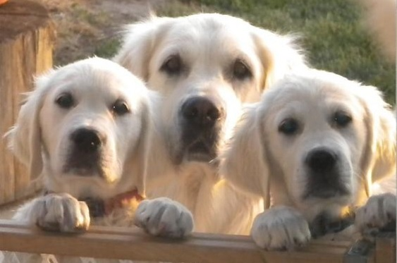 Labrador and Golden: What is the Difference Between Breeds?