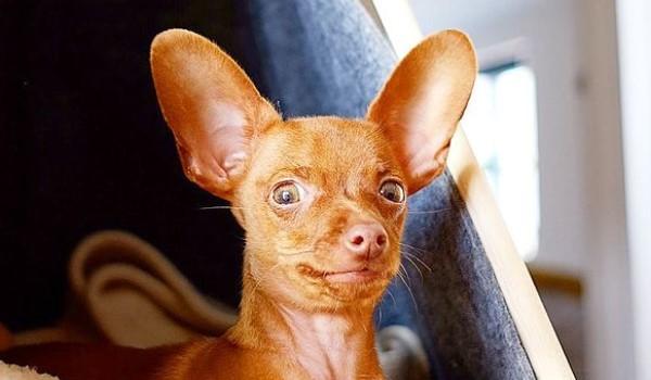 Min Chin: Chihuahua & Miniature Pinscher