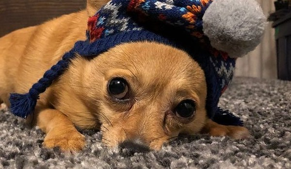 Corhuahua: Chihuahua & Pembroke Welsh Corgi
